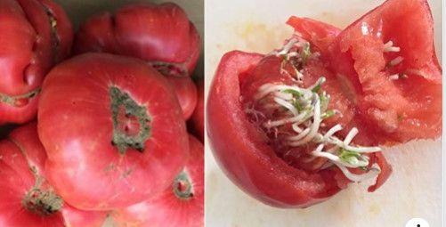 ŞOK! Bu pomidorları QƏTİYYƏN ALMAYIN / VİDEO