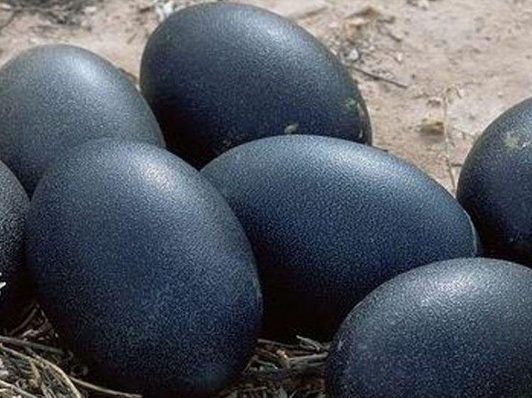 Emu yumurtasının faydaları